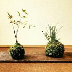 癒しの盆栽と苔玉の教室