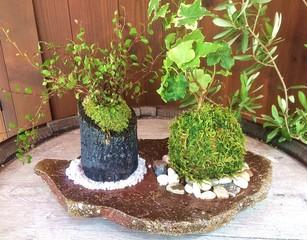 特別企画☆季節の (苔玉&苔の炭鉢)づくり 創作体験♪